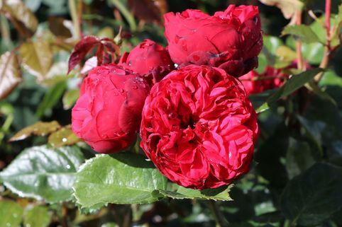 Edelrose 'Piano' ® - Rosa 'Piano' ®