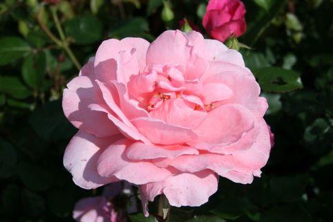 Edelrose 'Piroschka' ® - Rosa 'Piroschka' ®