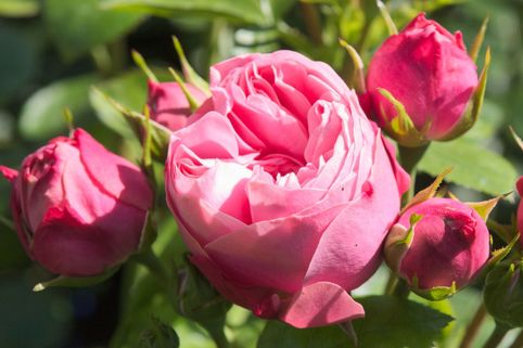 Edelrose 'Playful Rokoko' ® / Noblesse® Spray-Rose - Rosa 'Playful Rokoko' ® / Noblesse® Spray-Rose