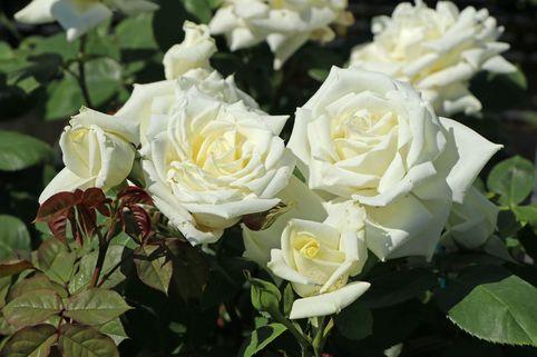 Edelrose 'Polarstern' ® - Rosa 'Polarstern' ®