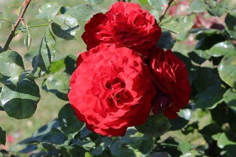 Edelrose 'Porta Nigra' ® - Rosa 'Porta Nigra' ®