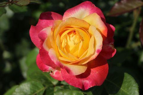 Edelrose 'Pullmann Orient Express' ® - Rosa 'Pullmann Orient Express' ®