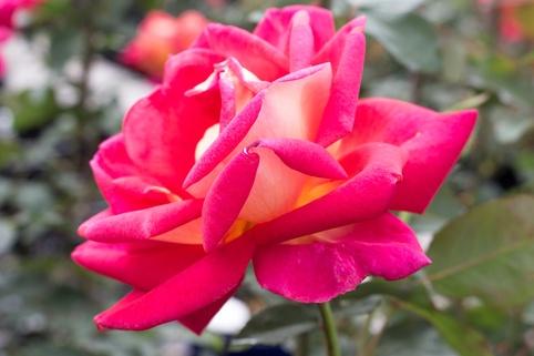 Edelrose 'Rebecca' ® - Rosa 'Rebecca' ®