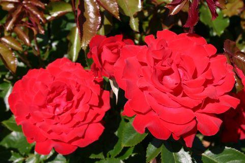 Edelrose 'Rebell' ® - Rosa 'Rebell' ®