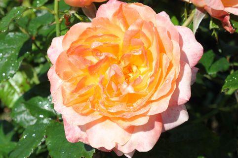 Edelrose 'Samaritan' ® - Rosa 'Samaritan' ®