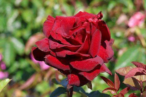 Edelrose 'Schwarze Madonna' ® - Rosa 'Schwarze Madonna' ®
