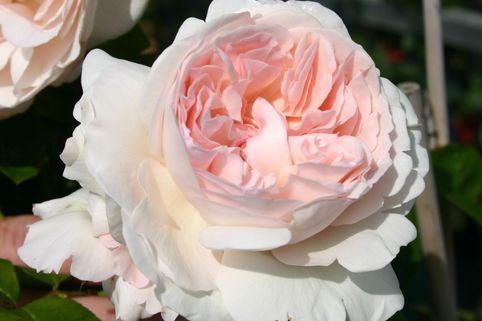 Edelrose 'Sebastian KNEIPP' ® - Rosa 'Sebastian KNEIPP' ®