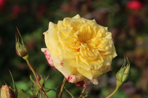 Edelrose 'Sterntaler' ® - Rosa 'Sterntaler' ®