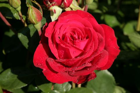 Edelrose 'Störtebeker' ® - Rosa 'Störtebeker' ®