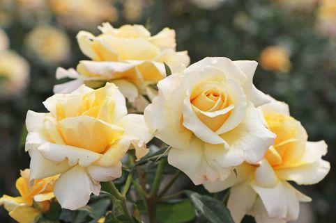 Edelrose 'Sunny Sky' ® - Rosa 'Sunny Sky' ®