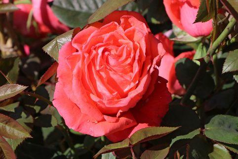 Edelrose 'Super Star' ® - Rosa 'Super Star' ®