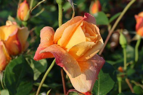 Edelrose 'Sutter's Gold' - Rosa 'Sutter's Gold'