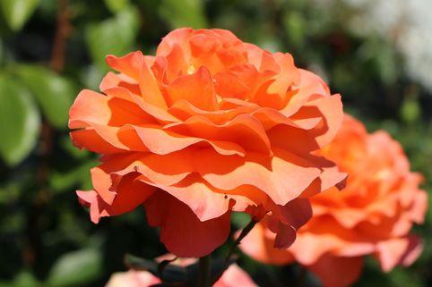 Edelrose 'Tea Time' ® - Rosa 'Tea Time' ®