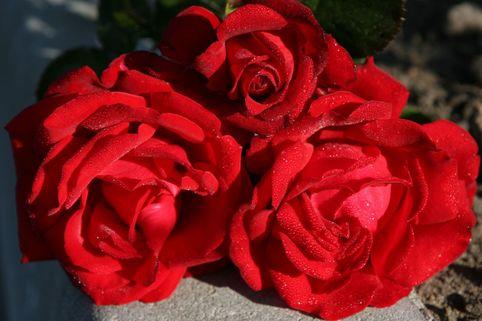 Edelrose 'Traumfrau' - Rosa 'Traumfrau'