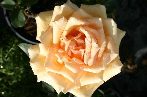 Edelrose 'Valencia' ® - Rosa 'Valencia' ®