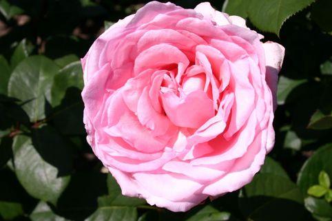 Edelrose 'Violina' ® - Rosa 'Violina' ®