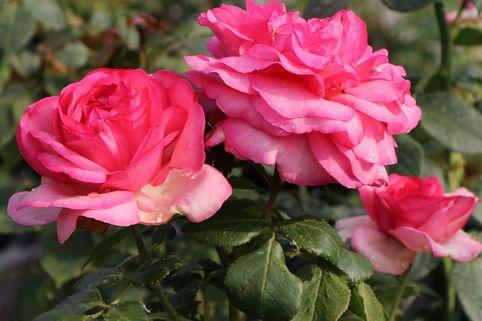 Edelrose 'Walzertraum' ® - Rosa 'Walzertraum' ®