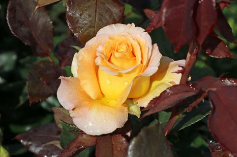 Edelrose 'Whisky' ® - Rosa 'Whisky' ®