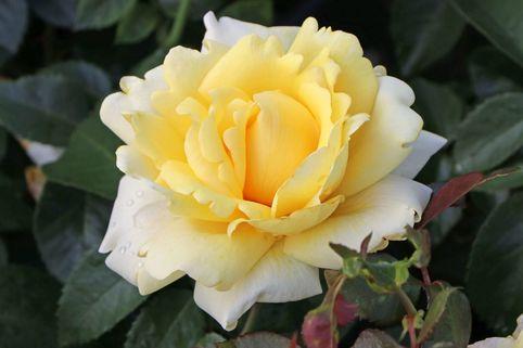 Edelrose 'Winter Sun' ® - Rosa 'Winter Sun' ®