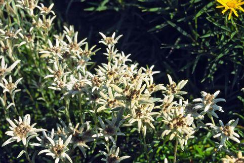 Edelweiß 'Alpine White' - Leontopodium souliei 'Alpine White'