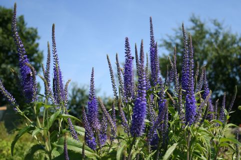 Ehrenpreis 'Blauriesin' - Veronica longifolia 'Blauriesin'