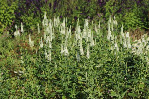 Ehrenpreis 'Schneeriesin' - Veronica longifolia 'Schneeriesin'