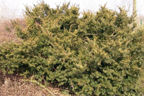 Eibe 'Farmen' - Taxus media 'Farmen'