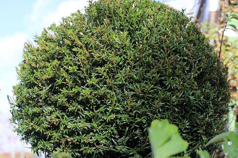 Eibe (Kugel) - Taxus baccata (Kugel)
