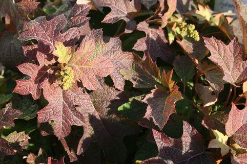 Eichenblättrige Hortensie 'Pee Wee' - Hydrangea quercifolia 'Pee Wee'