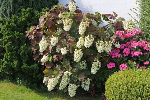 Eichenblättrige Hortensie 'Snowflake' - Hydrangea quercifolia 'Snowflake'