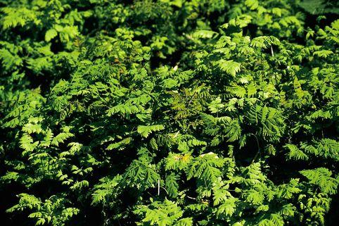Eichenfarn 'Plumosum' - Gymnocarpium dryopteris 'Plumosum'