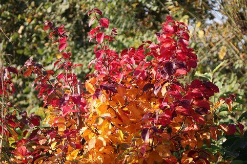 Eisenbaum 'Vanessa' - Parrotia persica 'Vanessa'
