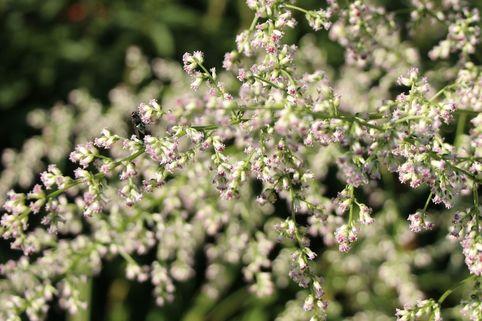 Elfenraute 'Weiße Dame' - Artemisia lactiflora 'Weiße Dame'