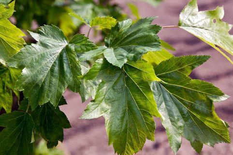 Elsbeere - Sorbus torminalis
