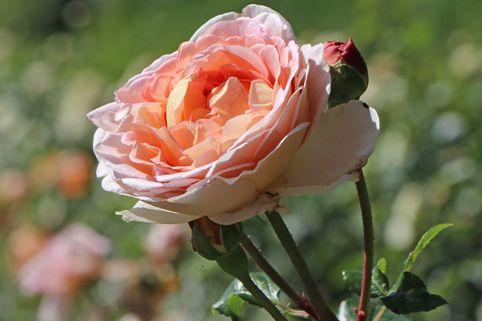 Englische Rose 'Abraham Darby' ® - Rosa 'Abraham Darby' ®