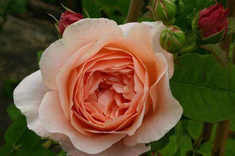 Englische Rose 'Ambridge Rose' ® - Rosa 'Ambridge Rose' ®