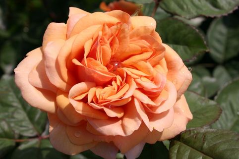 Englische Rose 'Ausfather' - Rosa 'Ausfather'