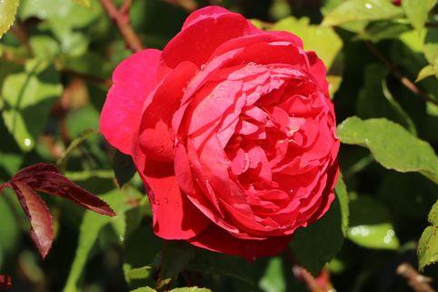 Englische Rose 'Benjamin Britten' ® - Rosa 'Benjamin Britten' ®