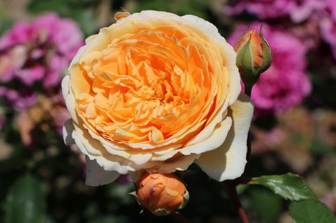 Englische Rose 'Crown Princess Margareta' - Rosa 'Crown Princess Margareta'