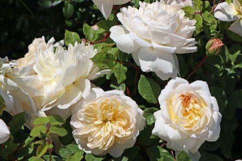 Englische Rose 'Emanuel' ® - Rosa 'Emanuel' ®