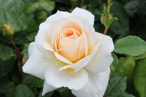 Englische Rose 'English Garden' ® - Rosa 'English Garden' ®