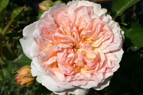 Englische Rose 'Evelyn' ® - Rosa 'Evelyn' ®