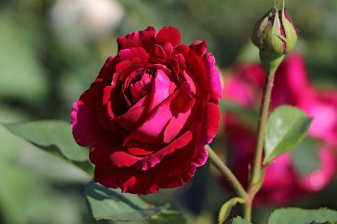 Englische Rose 'Falstaff' ® - Rosa 'Falstaff' ®