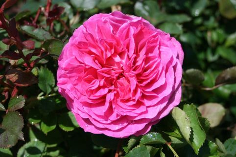 Englische Rose 'Fragrant Old Pink' ® - Rosa 'Fragrant Old Pink' ®