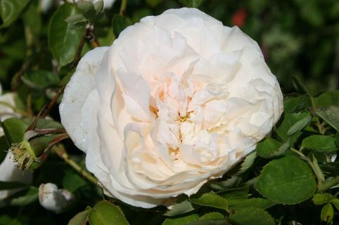 Englische Rose 'Fragrant Old White' ® - Rosa 'Fragrant Old White' ®
