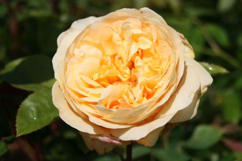 Englische Rose 'Fragrant Old Yellow' ® - Rosa 'Fragrant Old Yellow' ®