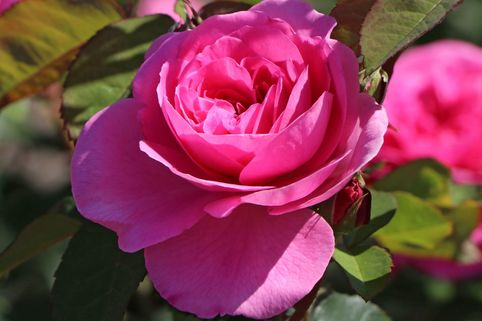 Englische Rose 'Gertrude Jekyll' ® - Rosa 'Gertrude Jekyll' ®