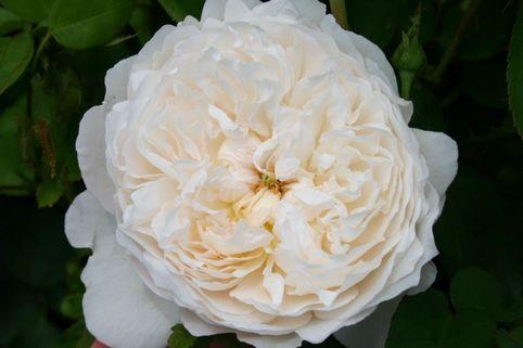 Englische Rose 'Glamis Castle' ® - Rosa 'Glamis Castle' ®