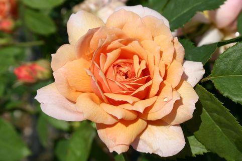 Englische Rose 'Grace' ® - Rosa 'Grace' ®
