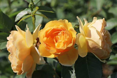 Englische Rose 'Graham Thomas' ® - Rosa 'Graham Thomas' ®